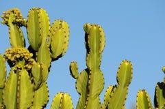 Flowering Cactus Stock Images