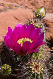 Flowering cactus Stock Photos