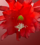 Flowering of a cactus Stock Photography