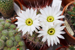 Flowering cactus acanthocalycium klimpelianum. White flowers of cactus acanthocalycium klimpelianum stock photos