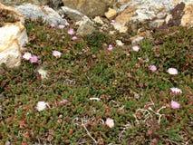 Flowering cactus. Aramoana rock cliffs-cactus flowering in spring Stock Photo