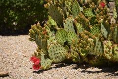 Flowering cactus Stock Photos