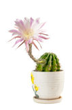 Flowering cactus in a ceramic pot. Isolated on white background Stock Photos