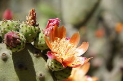Flowering cactus in the Chilean Botanical garden Royalty Free Stock Photography
