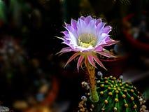 Flowering cactus. Close up of Flowering cactus Stock Image