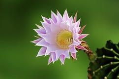 Flowering cactus. Close up of Flowering cactus Stock Photos