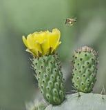 Flowering cactus. Close up of Flowering cactus Royalty Free Stock Image