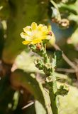 Flowering cactus. Close-up photo of green flowering cactus Stock Images