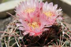 Flowering cactus Royalty Free Stock Photos