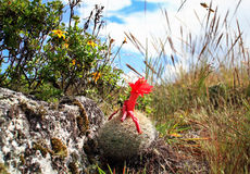 Flowering Cactus, Cordillera Blanca, Peru Stock Images