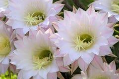 Flowering Cactus. Echinopsis eyriesii hybrida Stock Photos
