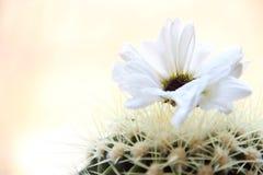 Flowering cactus. Fragment of summer flowering cactus in flower pot Royalty Free Stock Images