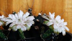 3 flowering cactus gymno royalty free stock photos