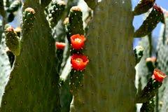 Flowering cactus. In hot Asia Stock Images