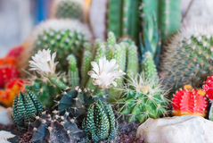 Flowering Cactus Royalty Free Stock Photos