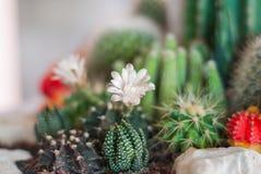 Flowering Cactus Royalty Free Stock Image