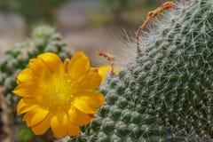Free Flowering Cactus Mammillaria Royalty Free Stock Photo - 70445165