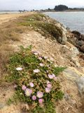 Flowering cactus-The Mole. Aramoana rock cliffs-cactus flowering in spring at The Mole Stock Image