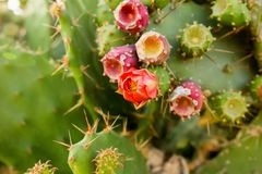 Flowering cactus in nature. Succulent cactus flowers Royalty Free Stock Image