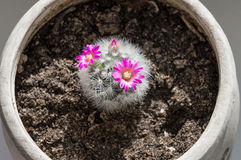 Flowering cactus. In a pot Royalty Free Stock Photo