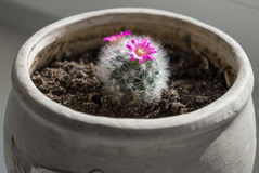 Flowering cactus. In a pot Royalty Free Stock Images