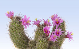 Flowering cactus. With red flowers Royalty Free Stock Photo
