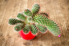 Flowering cactus in red pot Stock Image