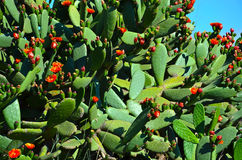 The flowering cactus. In spain Stock Photo