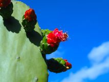 Flowering Cactus Under Blue Skies. A partially flowering cactus with pink and red buds set against a vibrant blue sky with a hint of clouds royalty free stock photos
