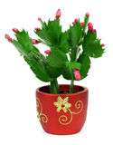 Flowering cactus on a white background Stock Photo