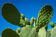 Flowering cactus. Stock Photos
