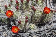 Flowering Cactus Woodgrain Background Royalty Free Stock Photography