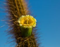 Flowering cactus, yellow flower. Yellow cactus flower closeup on a blurred background, blue sky royalty free stock photos