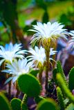 Flowering of cactuses. Beautiful white flowers of cactuses Royalty Free Stock Photos