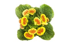 Flowering Calceolaria plant. Top view isolated against white Royalty Free Stock Photos