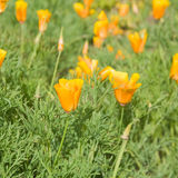 Flowering california poppies Stock Images