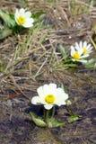 Flowering   Caltha leptosepala (White Marsh Marigold, Twinflower Stock Images