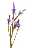 Flowering canarian lavender Royalty Free Stock Image