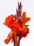 Flowering Canna Lily Stock Image