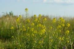 Flowering canola Royalty Free Stock Image
