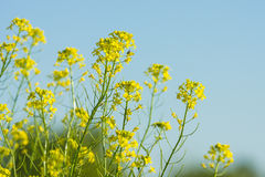 Flowering canola Royalty Free Stock Photography