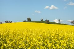 Flowering Canola Field Royalty Free Stock Photos