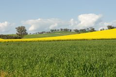Flowering Canola Field Royalty Free Stock Photography