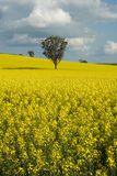 Flowering Canola Field Royalty Free Stock Image