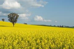 Flowering Canola Field Royalty Free Stock Photo