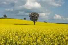 Flowering Canola Field Stock Photo
