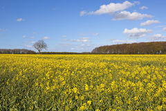 Flowering canola field with springtime woodland copse Royalty Free Stock Photo