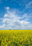 Flowering canola or rapeseed field Royalty Free Stock Image