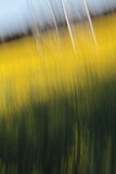 Flowering canola on rapeseed field Stock Photo