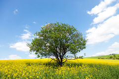 Flowering canola or rapeseed field Stock Images